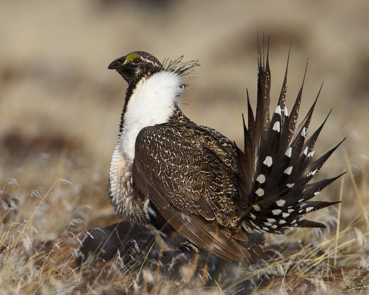 Content Dam Ogj Online Articles 2016 05 Greater Sage Grouse